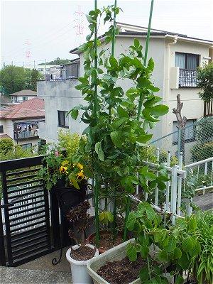 パッションフルーツ鉢植え